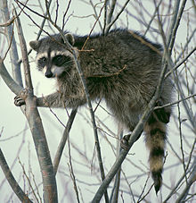 220px-Raccoon_climbing_in_tree_